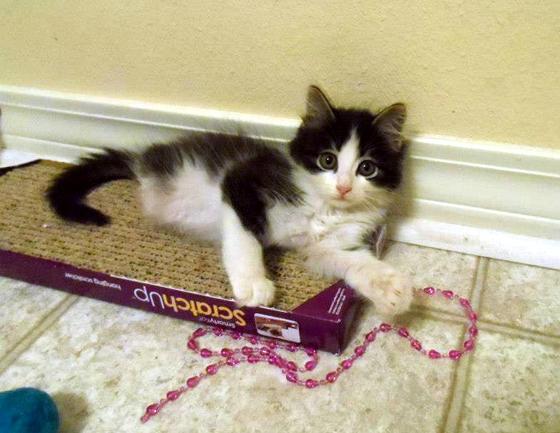 お気に入りのオモチャで遊ぶ猫