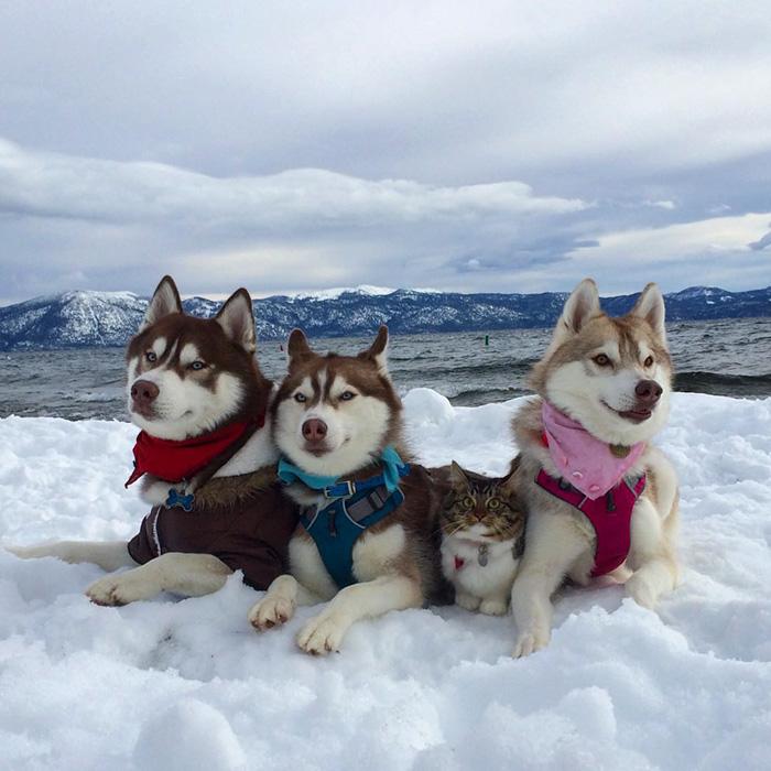 雪の中のハスキー犬と猫