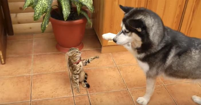 触ろうとするハスキー犬