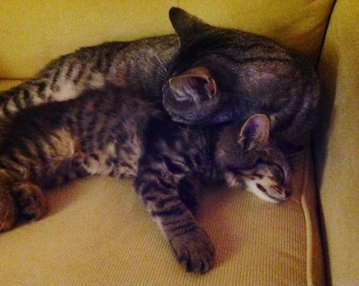 いっしょに眠る猫と子猫