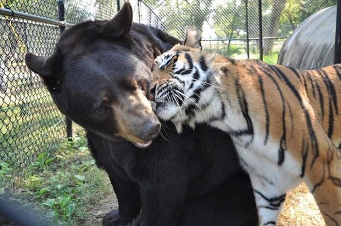 じゃれるトラとライオンとクマ