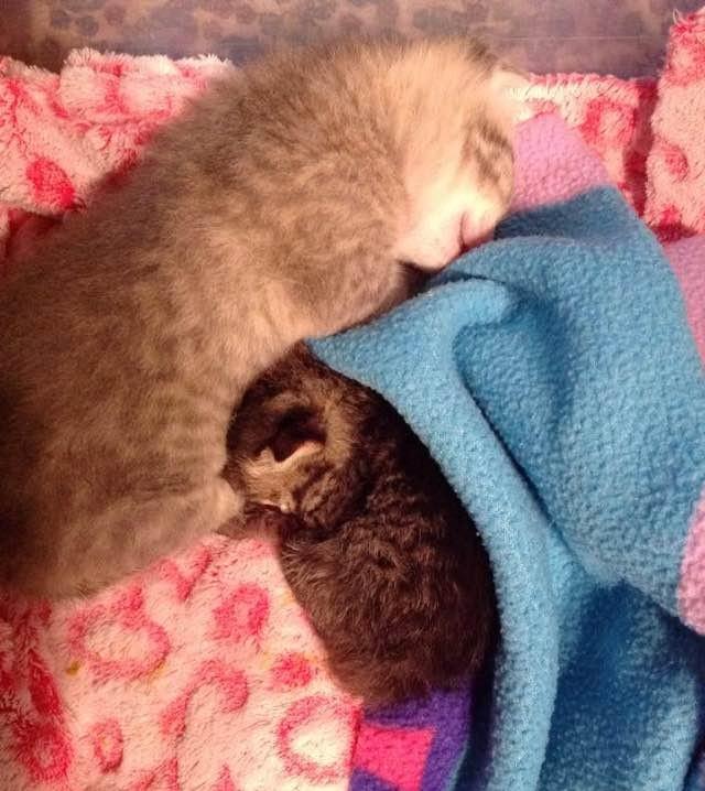 兄弟の半分の大きさの子猫