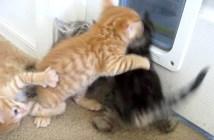 ケンカする子猫