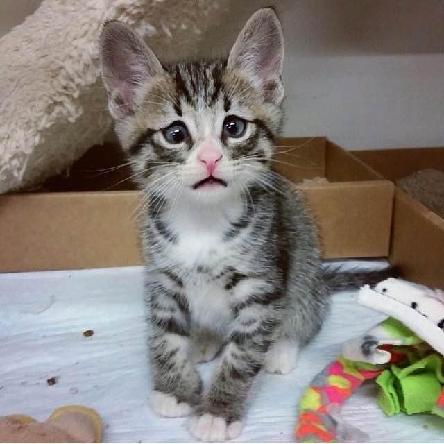 困り顔の子猫