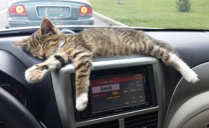 車の中でくつろぐ子猫