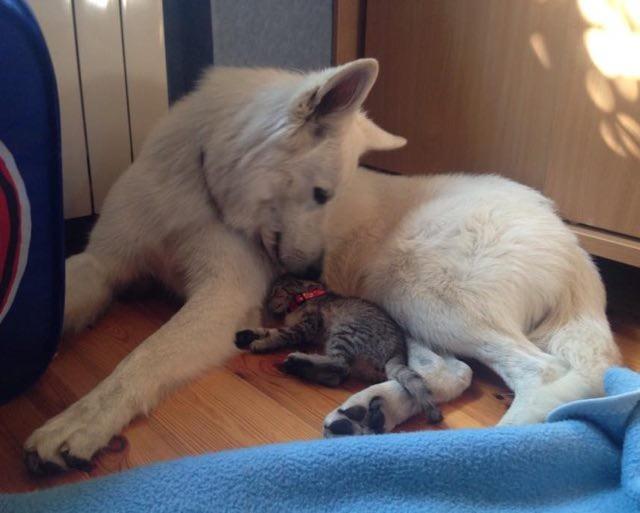 子猫を舐める犬