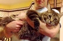 大きな猫メインクーン