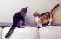 マンチカンと猫の戦い