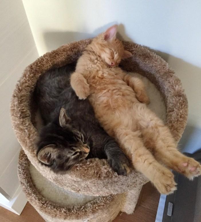 いっしょに眠る二匹の猫