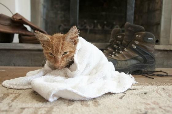タオルに包まれる子猫