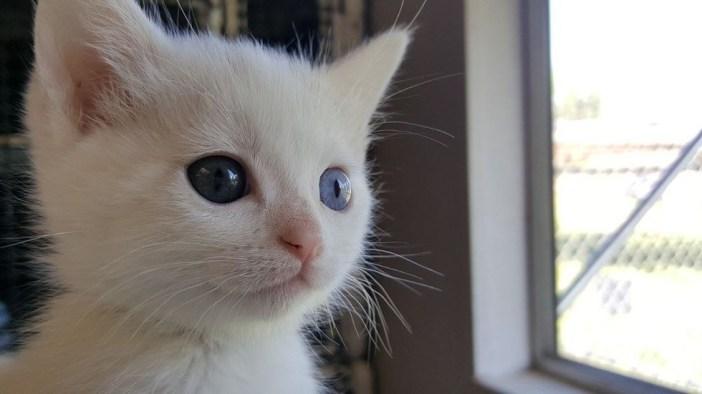 オッドアイの子猫