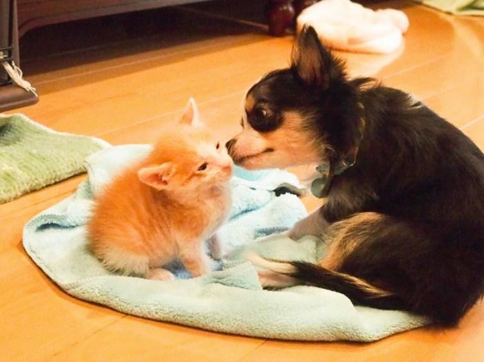 子猫を育てるチワワ
