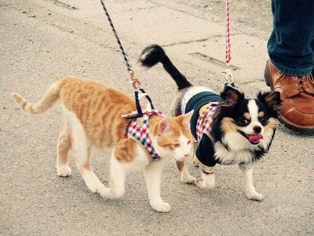 いっしょに歩く猫とチワワ