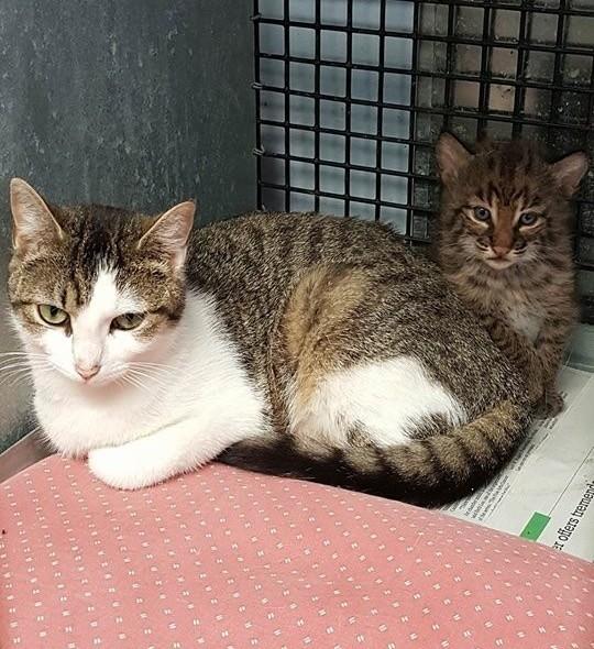 猫のお母さんとボブキャットの子供