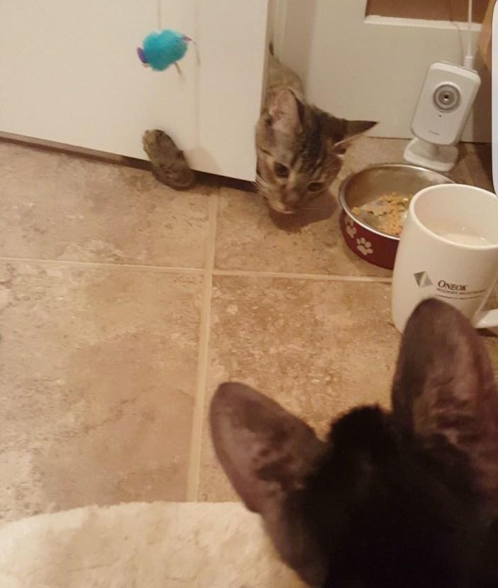 友達になる子猫