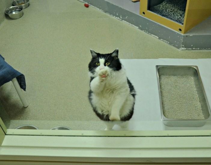 ガラス越しに手をかざす猫