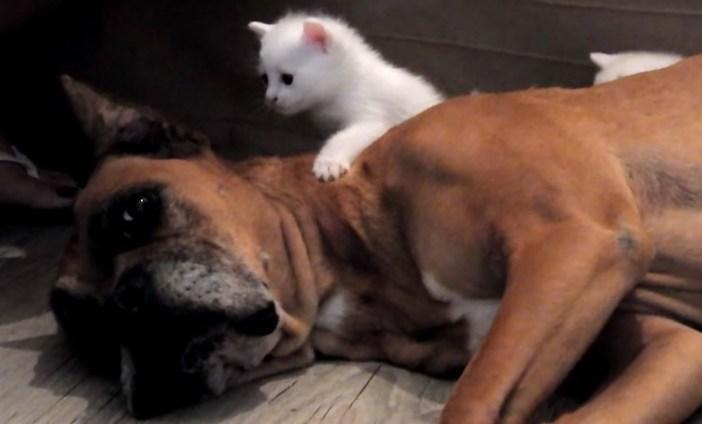 子猫のお父さんな犬