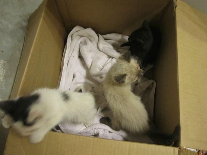 箱に入る子猫