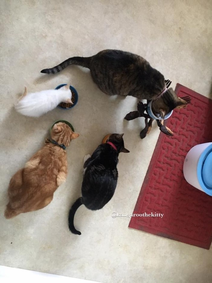 みんなで食事する猫達