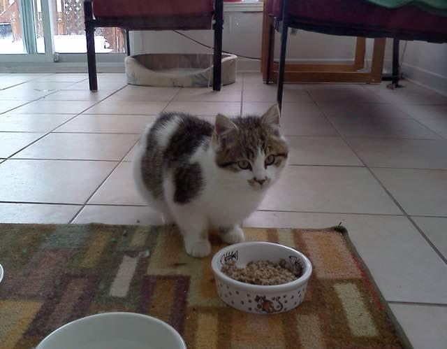 ご飯を食べる子猫