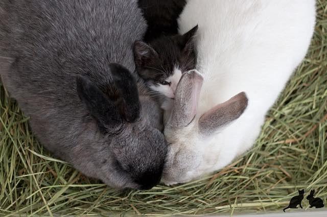 ウサギの間に挟まる子猫