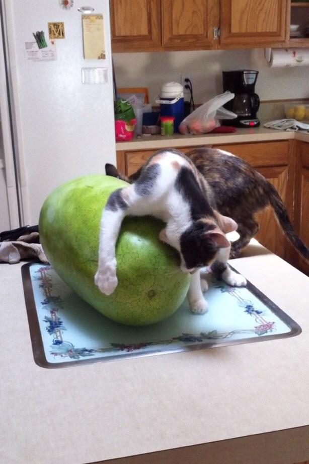 かじりつき猫
