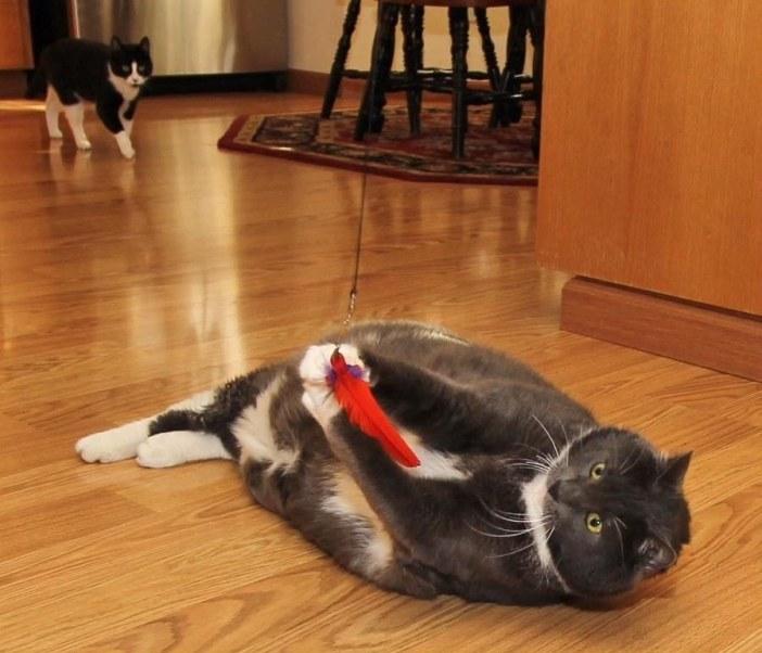 遊ぶポッチャリ猫