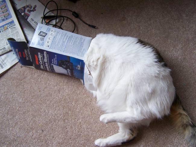 箱にハマった猫