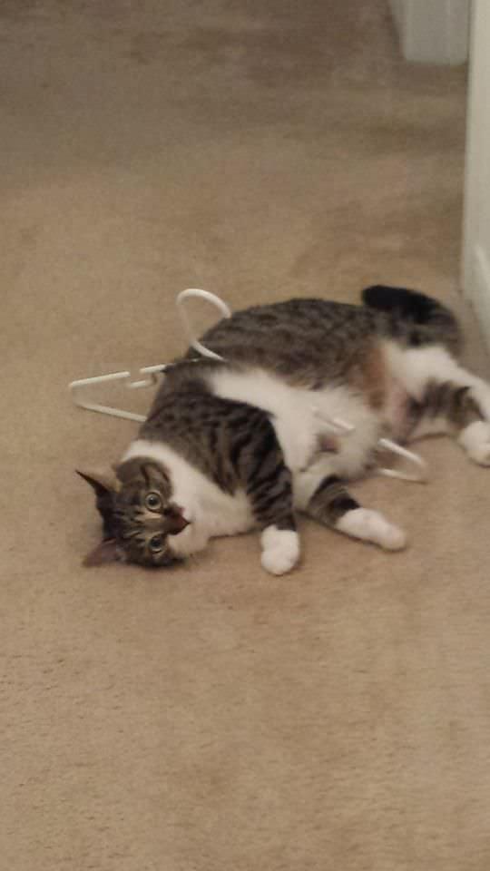 引っかかった猫