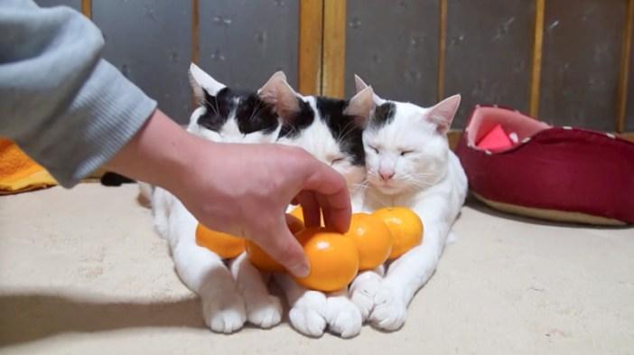 みかんを置かれる猫