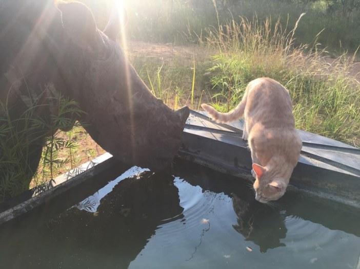 水を飲むサイと猫
