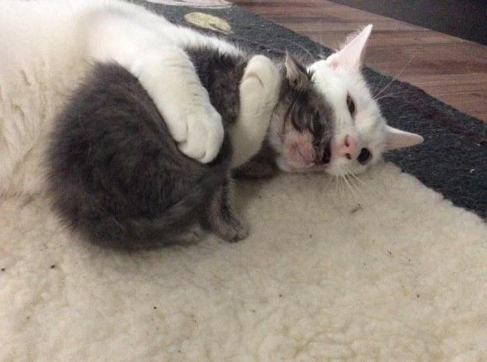 子猫を抱っこする猫