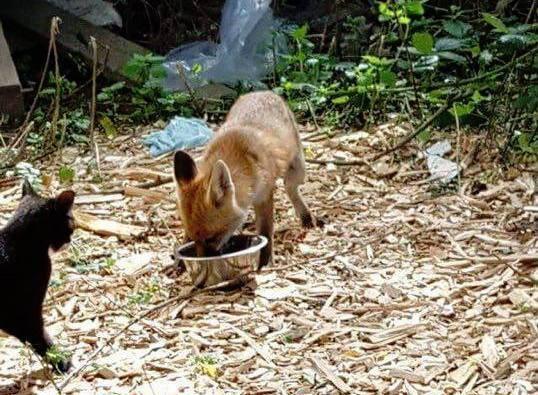 ご飯を食べる狐