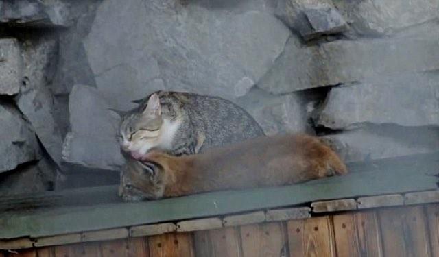オオヤマネコを舐める猫