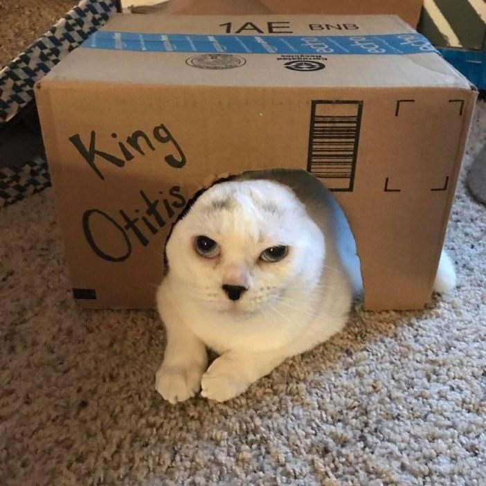 ダンボールに入る猫