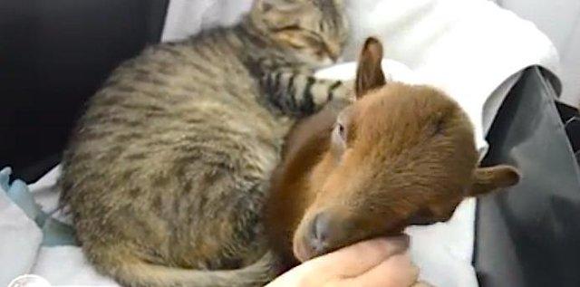 ヤギと眠る猫