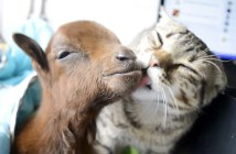 子ヤギを看病する猫