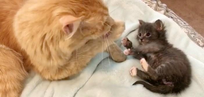 毛づくろいの勉強をする子猫