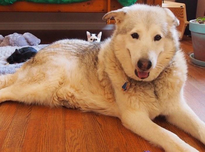 犬の背中からこっそり覗く子猫
