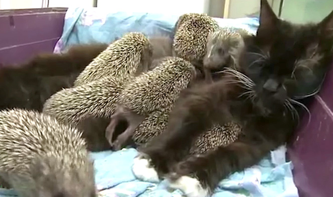 ハリネズミに埋まる猫