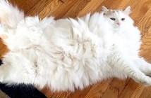 もふもふの猫
