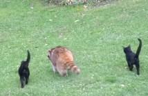 アライグマを守る子猫