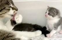 母猫の毛づくろいを見つめる子猫