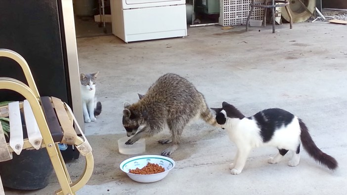 洗って食べるアライグマ