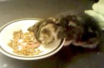 食事中に眠る子猫
