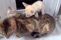 キツネを育てる母猫