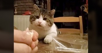 サンドイッチが食べたい猫