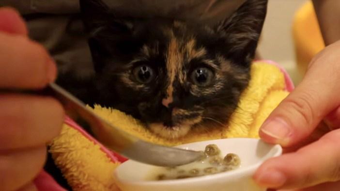 スプーンでご飯を食べる子猫