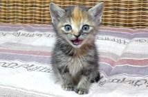 鳴き声が個性的な子猫