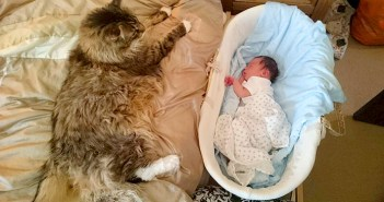 世界最大のメインクーン! とっても家族想いの大きな猫は、赤ちゃんへの愛情も特大でした (〃∇〃)!